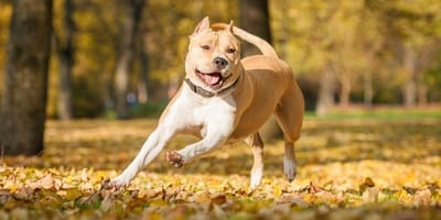 amstaff corre in un parco in autunno