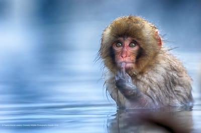 Fotografia divertida de animales mono