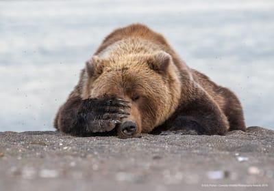 Fotografia divertida de animales oso