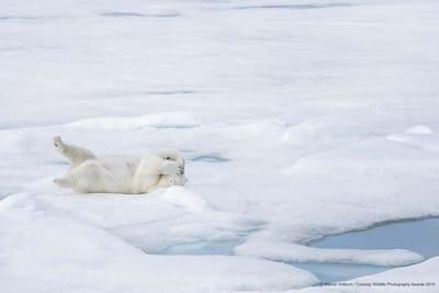 Fotografia divertida de animales oso polar