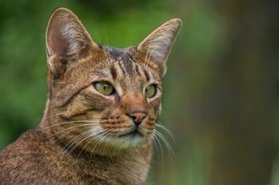 Ashera  poznaj najdroższego kota na świecie