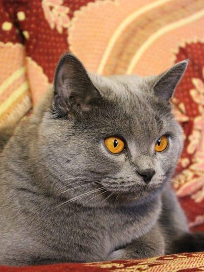 British-shorthair-grigio-con-occhi-gialli