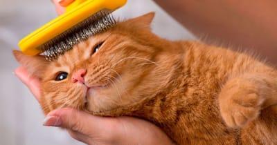 cepillado gato de pelo largo