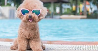 perro proteccion gafas de sol