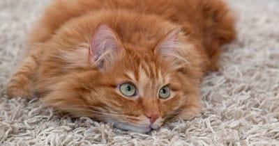gato escuchando humano
