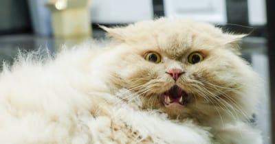 gato persa asustado gracioso