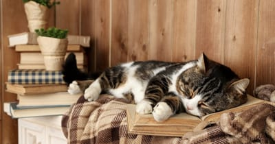 gato anciano siesta