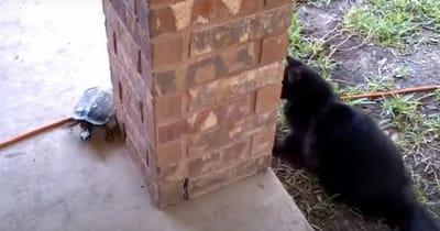 gato jugando al escondite con tortuga