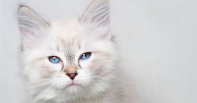gato blanco con ojos azules y cara de enfado