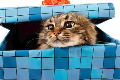 regalar un gato