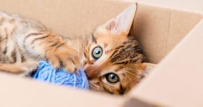 gato jugando escondido caja
