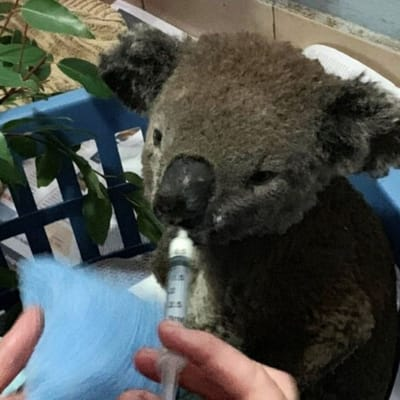 koala rescate bear australia