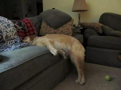 perro golden duerme medio cuerpo fuera sofa