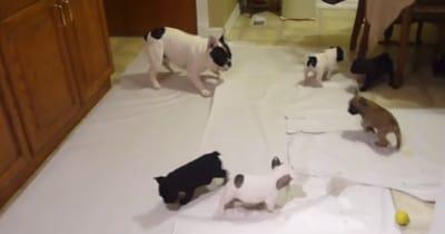 bulldog frances rodeado