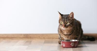 gato plato