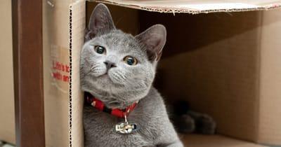 gato gris caja de carton