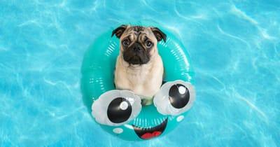 pug piscina verano