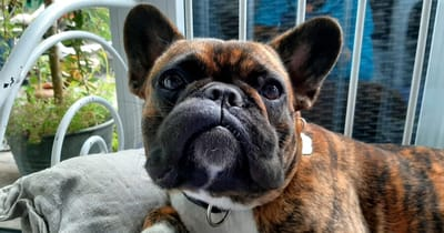 bulldog frances picadura avispa