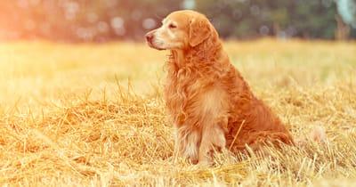 golden retriever en el campo