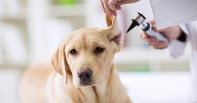 veterinario mirando orejas perro