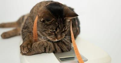 gato gordo pesandose en la bascula