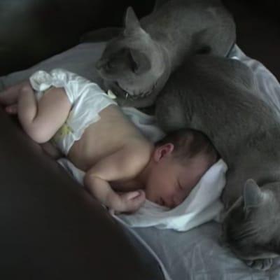 gatos birmanos durmiendo con un bebe