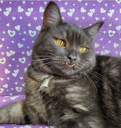gato gris con colmillos