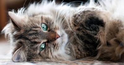 gato siberiano causa alergia