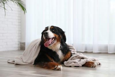 perro feliz bajo una manta