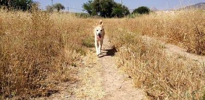 espigas peligro perros campo seco