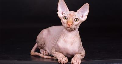 gato persa de orejas grandes