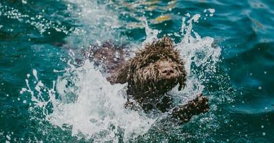 Cane d'acqua spagnolo che gioca in acqua
