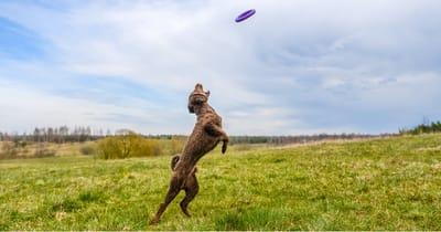 Cane d'acqua spagnolo che gioca col frisbee