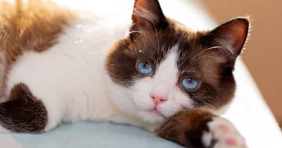 gato snowshoe ojos azules