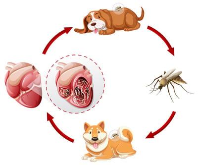 ciclo de vida gusano del corazón
