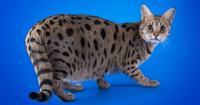 Savannah raza gato gigante