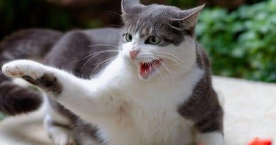 enfermedad aranazo gato
