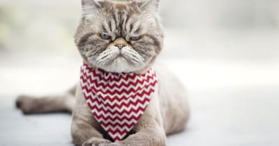 gato enojado ruido