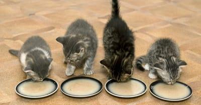 papilla para gatos comida