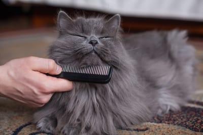 gato cepillado durante la muda