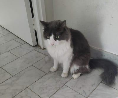 El gato Elvis