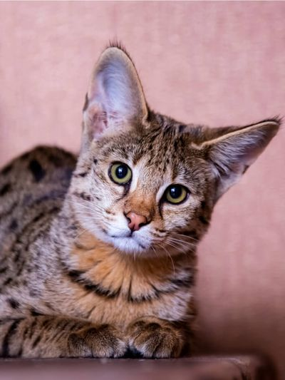 Gatto-Savannah-pelo-maculato