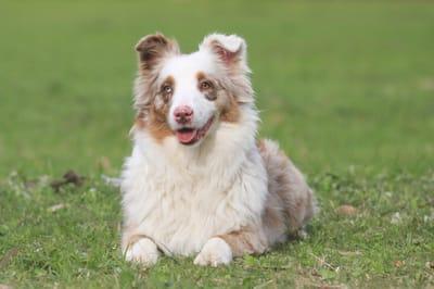 Perro de pastoreo