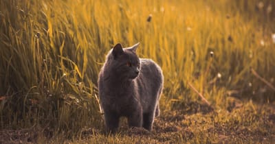 gato gris caminando por el bosque