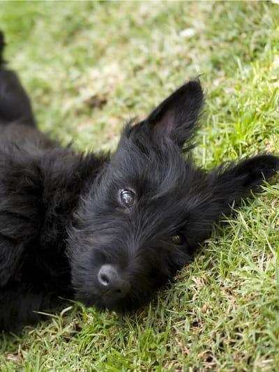 razza-scottish-terrier