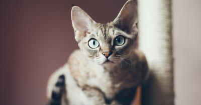 The Devon Rex cat