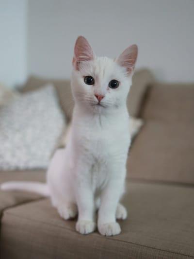 gatto bianco riflette