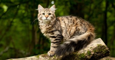 The Siberian cat