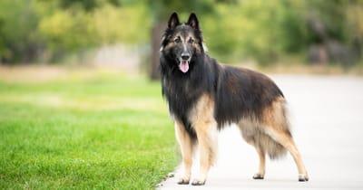 The Belgian Tervuren dog