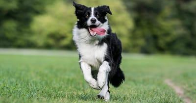 The Border Collie dog